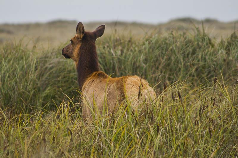 Roosevelt Elk at Gold Beach, Redwood National Park, California