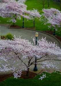 Cherry Trees in Waterfront Park, Portland Oregon