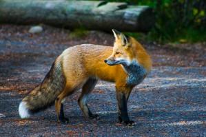 Red Fox, Teton National Park, Wyoming