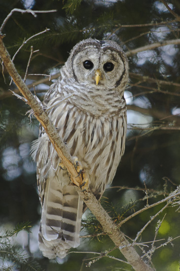 Barred Owl, Mt Hood, Oregon